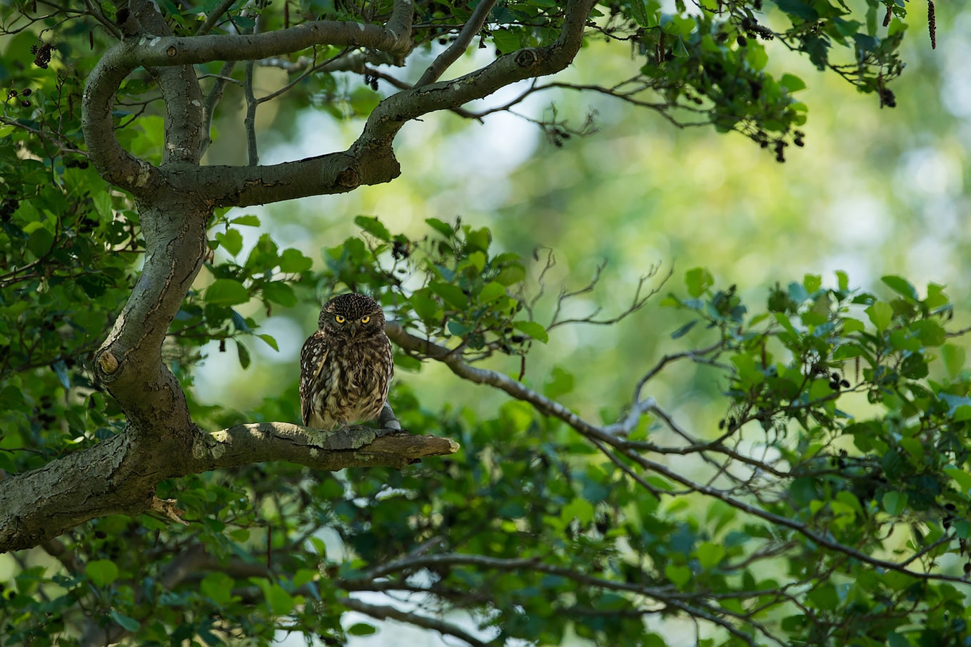 gustav-kiburg-sony-alpha-7RII-owl-sits-patiently-in-tree